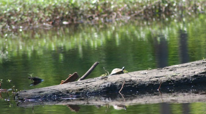 Turtle in Water on Log